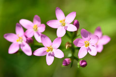 Common centaury (Centaurium erythraea) in flower. Delicate pink flowers on a plant growing in a limestone quarry, in the family Gentianaceae Royalty Free Stock Photos
