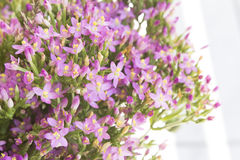 Common Centaury ( Centaurium Erythraea ) Flowers Stock Photography