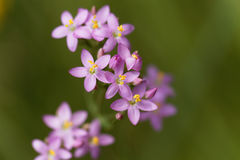 Common centaury, Centaurium erythraea. Flowers of a common centaury, Centaurium erythraea Stock Photography