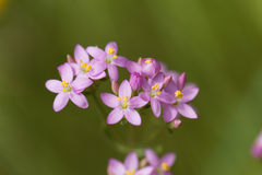 Common centaury, Centaurium erythraea. Flowers of a common centaury, Centaurium erythraea Stock Photo