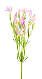 Common centaury or Centaurium erythraea isolated on white background. Plant with small pink flowers. Common centaury or Centaurium erythraea isolated on white Stock Photo