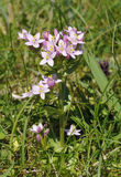 Common Centaury Royalty Free Stock Images