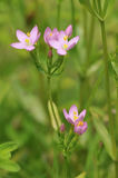 Common Centaury. Centaurium erythraea Royalty Free Stock Images
