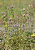 Common Centaury. Centaurium erythraea Royalty Free Stock Photography