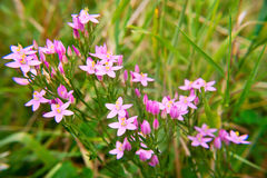 Common centaury. Pink  inflorescence of Common centaury (centaurium gentian Stock Photo