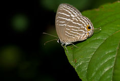 Common Cerulean Butterfly Royalty Free Stock Image