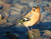 Common chaffinch Stock Images