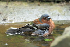 Common chaffinch Stock Photos