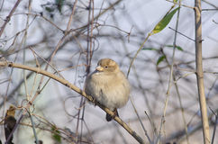 Common chaffinch. (fringilla coelebs Stock Images