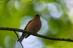 Common chaffinch bird perched Stock Photography