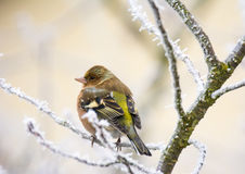 Common chaffinch bird sitting on a frosted tree Royalty Free Stock Image