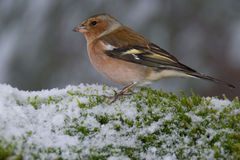 Common chaffinch bird on snowy moss Stock Photography