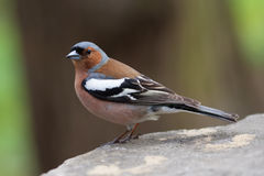 Common chaffinch bird on the stone. Fringilla coelebs, male. Soft focus Stock Photo