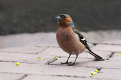 Common chaffinch bird on the stone tiles. Fringilla coelebs, male. Soft focus, shallow depth of field Royalty Free Stock Photos