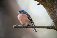 Common chaffinch on a branch Royalty Free Stock Image
