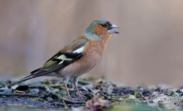 Common chaffinch calls or sings loudly stock photos