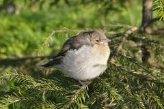 Common chaffinch chick (Fringilla coelebs) Stock Photo