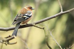 Common chaffinch. On the branch royalty free stock photography