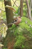 Common chaffinch. On the mossy rock stock photos