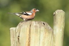 Common chaffinch. Sitting on the wooden fence royalty free stock photography