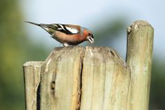 Common chaffinch. On the wooden fence stock images