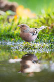 Common chaffinch drinking water Stock Photography