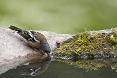 Common Chaffinch drinking water in a pound Royalty Free Stock Photos