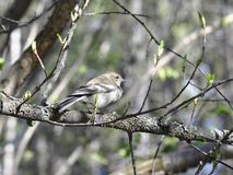 Common chaffinch female Royalty Free Stock Image