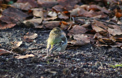 The common chaffinch Royalty Free Stock Photography