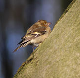 The common chaffinch Royalty Free Stock Images
