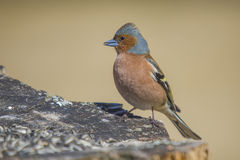 Common Chaffinch (Fringilla coelebs) Royalty Free Stock Photography
