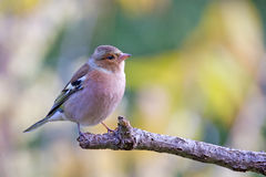 Common chaffinch (Fringilla coelebs) on a branch. Common chaffinch (Fringilla coelebs), usually known simply as the chaffinch, is a common and widespread small Stock Photos