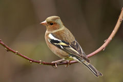 Common chaffinch (Fringilla coelebs) on a branch Stock Photos
