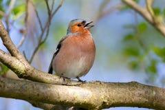 Common Chaffinch Fringilla coelebs Royalty Free Stock Photography