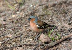 Common chaffinch (Fringilla coelebs) Stock Photography