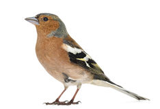 Common Chaffinch, Fringilla coelebs Royalty Free Stock Image