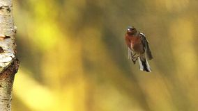 Common Chaffinch, fringilla coelebs, Male in Flight, Flapping Wings near Tree Trunk, Normandy in France, stock footage