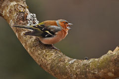 The common chaffinch, Fringilla coelebs male Royalty Free Stock Images