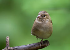 Common Chaffinch (Fringilla coelebs) on a perch Stock Images