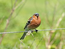 Common Chaffinch (Fringilla coelebs) Stock Image