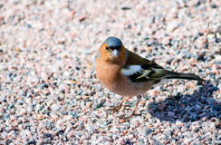 Common Chaffinch Royalty Free Stock Images
