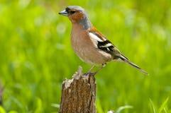 Common chaffinch (Fringilla coelebs) Royalty Free Stock Photos