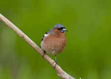 Common chaffinch (Fringilla coelebs) Royalty Free Stock Photo