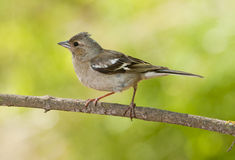 Common chaffinch (Fringilla coelebs) Royalty Free Stock Image