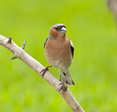 Common chaffinch (Fringilla coelebs) Stock Photo