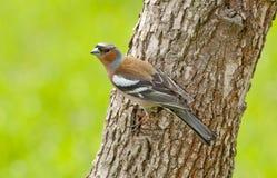 Common chaffinch (Fringilla coelebs) Royalty Free Stock Image