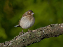 Common chaffinch (Fringilla coelebs) Stock Photos