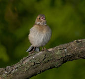 Common chaffinch (Fringilla coelebs) Stock Images