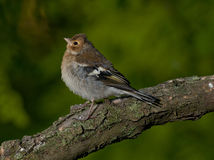 Common chaffinch (Fringilla coelebs) Stock Photography