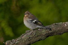 Common chaffinch (Fringilla coelebs) Stock Images